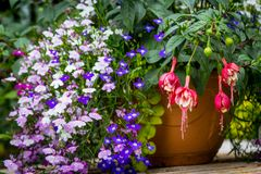 Beautiful garden with mix of lobelia and fuchsia, close up. Beautiful home garden with lots of blooming flowers, plants and garden table stock photo