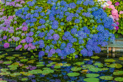 A beautiful garden near the water. Blue and pink Hydrangea Royalty Free Stock Photography