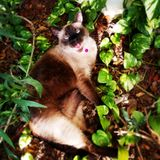 Miss. Meow. A beautiful garden picture of a cream and brown Siamese saying hello Stock Images