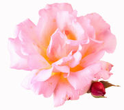 Beautiful garden rose. Isolated on withe background Stock Image
