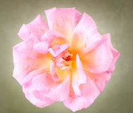 Beautiful garden rose Stock Image