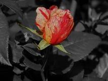 Beautiful garden rose. Closeup close-up royalty free stock photo
