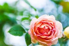 Beautiful Garden Rose in the Garden Royalty Free Stock Photo