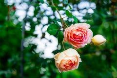 Beautiful Garden Rose in the Garden Stock Photography