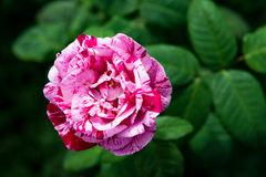 Beautiful Garden Rose in the Garden Royalty Free Stock Photography