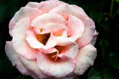 Beautiful Garden Rose in the Garden Royalty Free Stock Photos