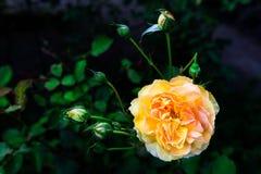 Beautiful Garden Rose in the Garden Stock Photos