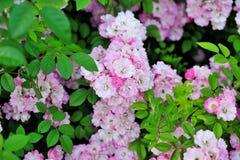 Beautiful garden roses Stock Photos