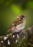 Beautiful garden sparrow Royalty Free Stock Photo