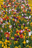 Beautiful garden with tulips Royalty Free Stock Photo