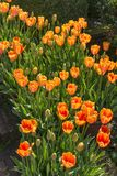 Tulips in bloom Royalty Free Stock Photography