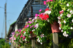 Beautiful garden verbena. Royalty Free Stock Images