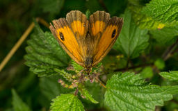 A beautiful Gatekeeper Butterfly on a leaf Royalty Free Stock Photos