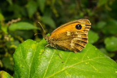 A beautiful Gatekeeper Butterfly on a leaf Royalty Free Stock Image