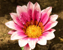 Beautiful gazania Royalty Free Stock Photography