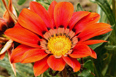 Beautiful gazania Stock Photo