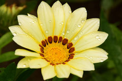 Beautiful gazania Royalty Free Stock Photo