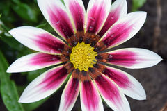 Beautiful gazania Stock Photos