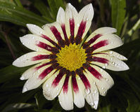 Beautiful gazania Stock Photography