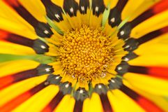 Beautiful Gazania Flower Close-Up Royalty Free Stock Photos