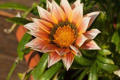 Beautiful Gazania Flower Royalty Free Stock Images