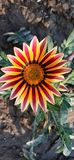 Beautiful Gazania Flower Red and Yellow stock photo