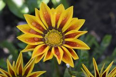 Beautiful gazania in my garden in the sunshine royalty free stock photo