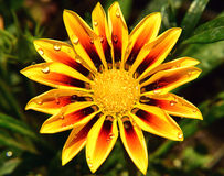 Beautiful gazania Royalty Free Stock Photos