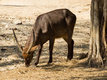 Beautiful Gazelle Royalty Free Stock Photos