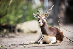 Beautiful gazelle llying Royalty Free Stock Image