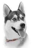 Beautiful gazing,husky Stock Photo