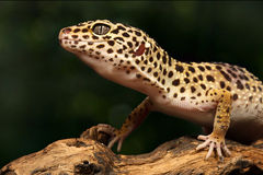 Beautiful gecko sitting on a brunch Royalty Free Stock Photo