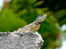 Beautiful gecko standing over the wall Royalty Free Stock Image