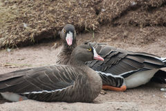 Beautiful geese in the park Stock Images