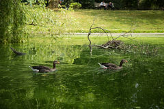 Beautiful geese in the park Stock Image