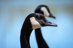 Beautiful Geese Take in the Sunlight. When time stops on a warm summer day, remember to watch the birds royalty free stock photo
