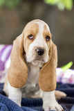 Beautiful and gentle Basset hound puppy with sad eyes and very l. Close up beautiful and gentle puppy, Basset hound with sad eyes and very long ears sits on a Stock Images
