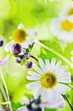 Beautiful gentle Chamomile, close-up Royalty Free Stock Images