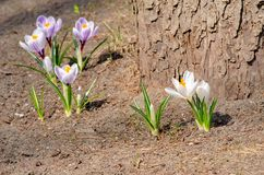 Beautiful gentle crocus bushes bloom in early spring, the symbol of the beginning of the year, the concept of Easter.  stock image