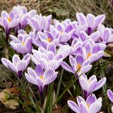 Beautiful and gentle crocuses. Gentle flowers of crocus are the first to meet the spring stock photos