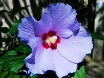 Beautiful, delicate, white hibiscus flower. Beautiful, gentle, lilac flower of hibiscus, growing in tropical countries Royalty Free Stock Image