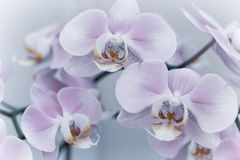 Beautiful gentle orchid flowers are taken in soft light. Can be used to create a postcard royalty free stock photography