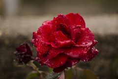 Red rose in a gloomy rainy day. Beautiful gentle, red rose in a cloudy rainy day. Cover with raindrops stock photos
