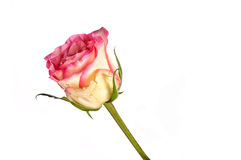 Beautiful and gentle single pink rose isolated on white backgrou Royalty Free Stock Images