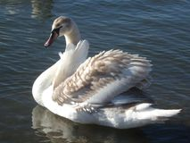 Beautiful gentle swan. One cold February day, I saw a beautiful, gentle swan on the river Stock Photo