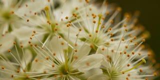 Flowers of bird cherry. Beautiful gentle white flowers of bird cherry, close-up Stock Image