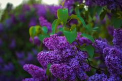 Beautiful and gently lilac flowers at the spring sunny day stock photos