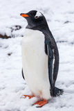 Beautiful gentoo penguin on the snow in Antarctica Stock Images