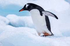 Beautiful gentoo penguin walking on snow in Antarctica Stock Image