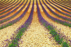 Beautiful geometry of lavander' field Royalty Free Stock Image
